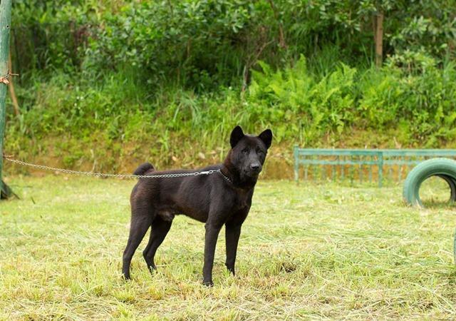 Chó Mông Cộc - Giống chó Quốc khuyển rất được ưa chuộng có gì xuất xắc - 4
